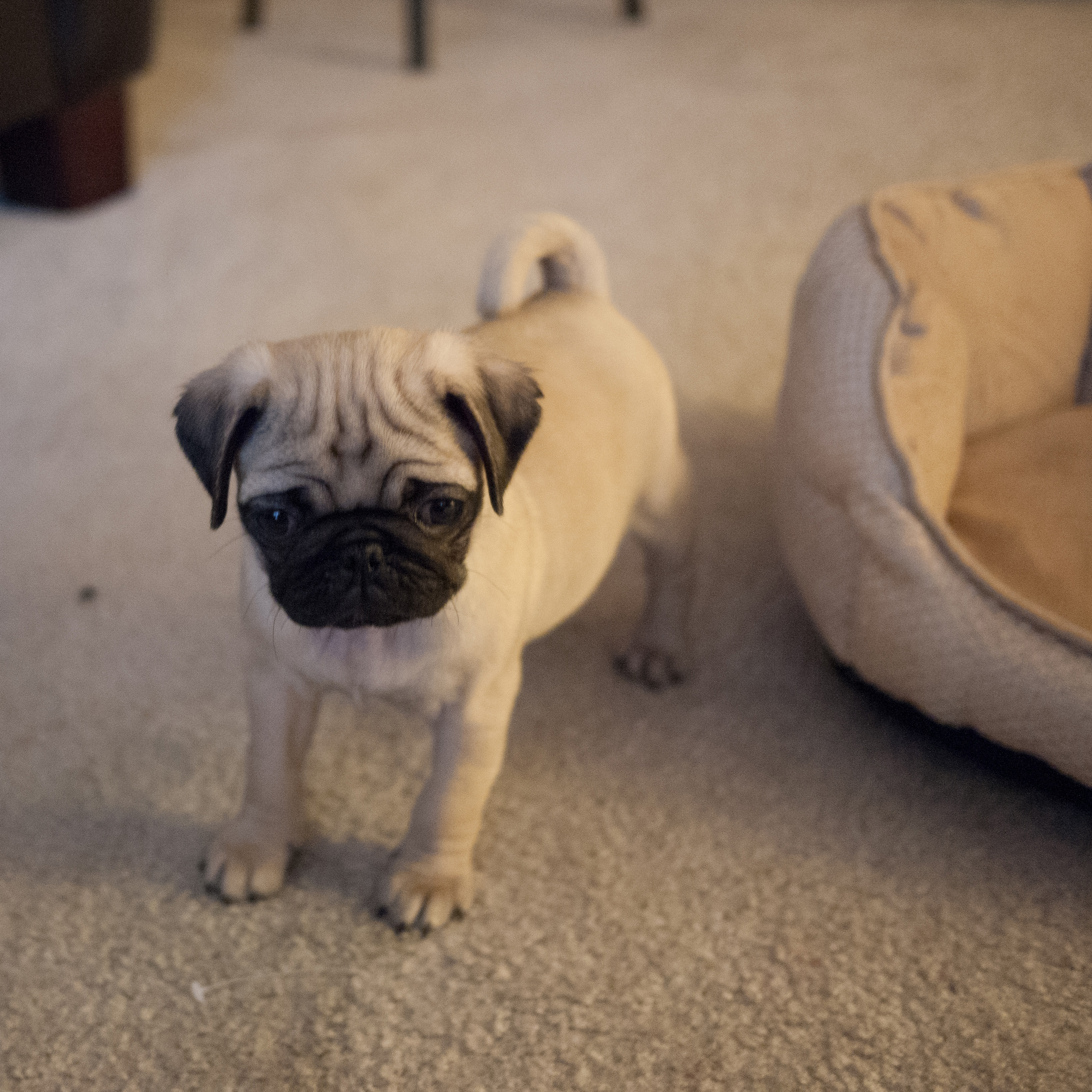 Keep Calm And Pug On How To Effectively Train Your