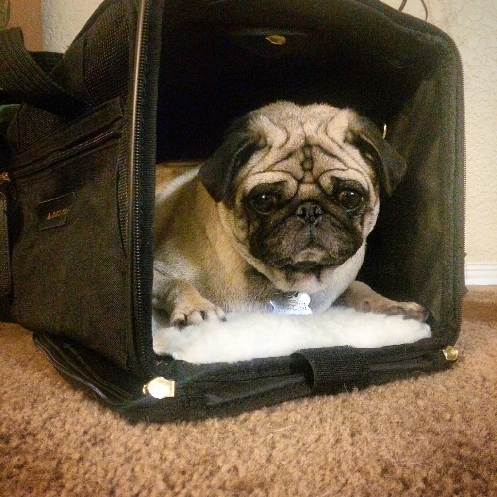 a guide to flying with your pug airlines crates and more